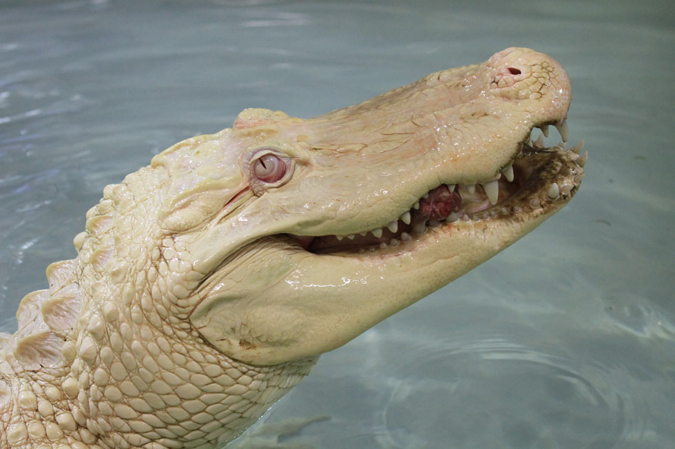 An albino crocodile swims in its enclosure in the Crocodile zoo in Protivin, Czech Republic, on August 16, 2013. The Crocodile zoo is the only zoo in Europe having a pair of the rare species. AFP PHOTO / RADEK MICA        (Photo credit should read RADEK MICA/AFP/Getty Images)