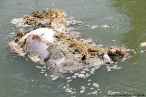 carcassa di pecora nel Po