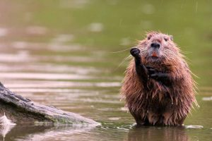 nutria National Geographic di agosto 2014