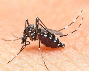 aedes mosquito blood eater at night