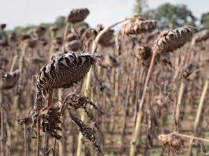 campo di girasoli secchi